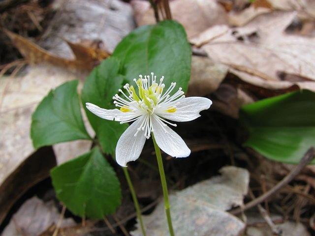 Coptis trifolia, auteur : Jomegat