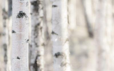 Eau d'érable et eau de bouleau : deux trésors de la nature à découvrir au printemps