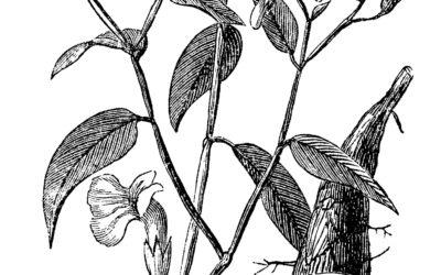 Amarante, manioc et arrow-root